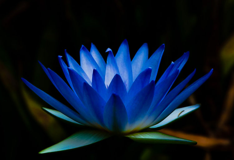 Blue Water Lily: The National Flower of Sri Lanka