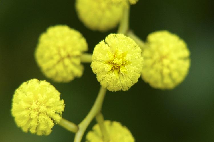 Golden Wattle The National Flower of Australia