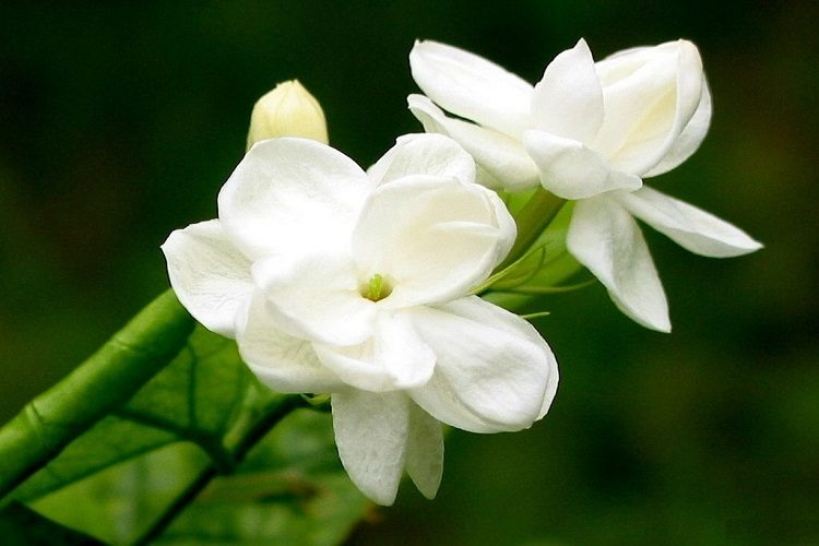 Jasmine: The National Flower of Pakistan