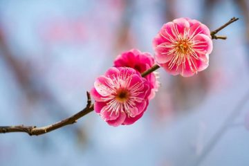 Plum Blossom national flower of china