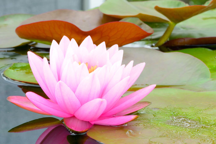 information about lotus flower