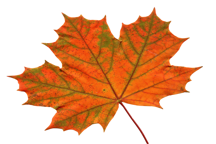 Maple Leaf: The National Flower of Canada
