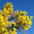 Acacia: National Flower of Australia