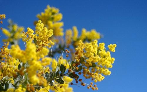 Acacia: National Flower of Australia