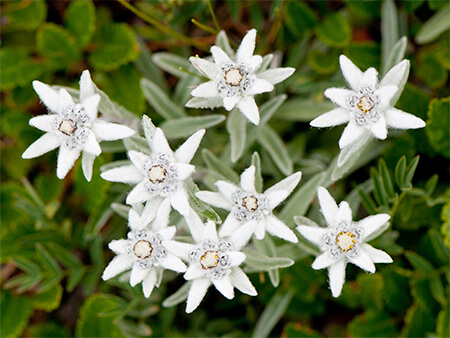 Edelweiss colors