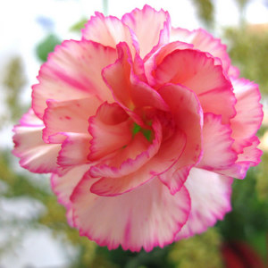 Carnation: National Flower of Balearic Islands
