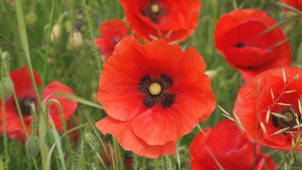 National Flower of Belgium petals