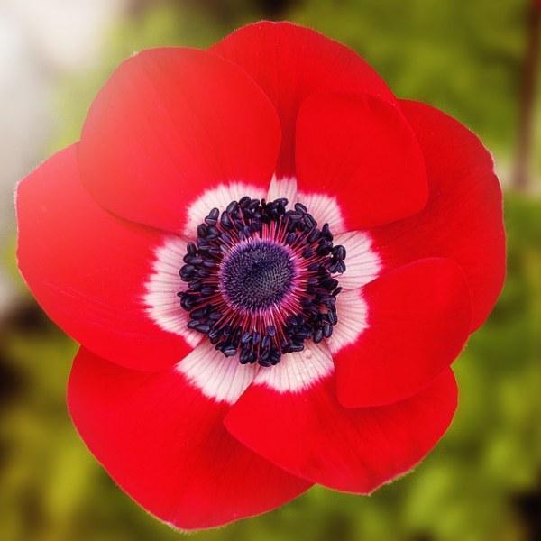 Red poppy national flower of belgium national flowers by country red poppy national flower of belgium mightylinksfo