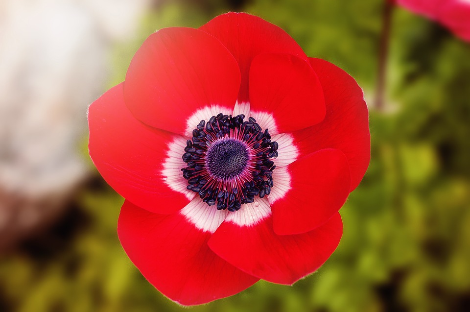 Red poppy national flower of belgium national flowers by country mightylinksfo