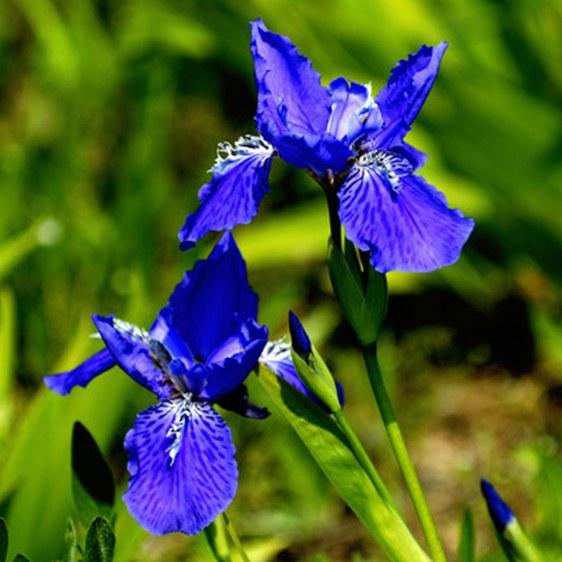 Iris Croatia: National Flower of Croatia