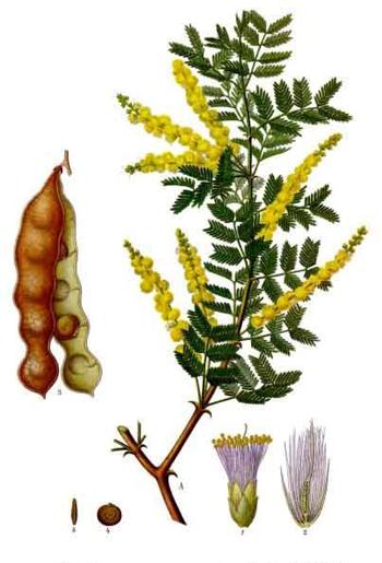 acacia medicen - Copy