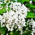 acacia white