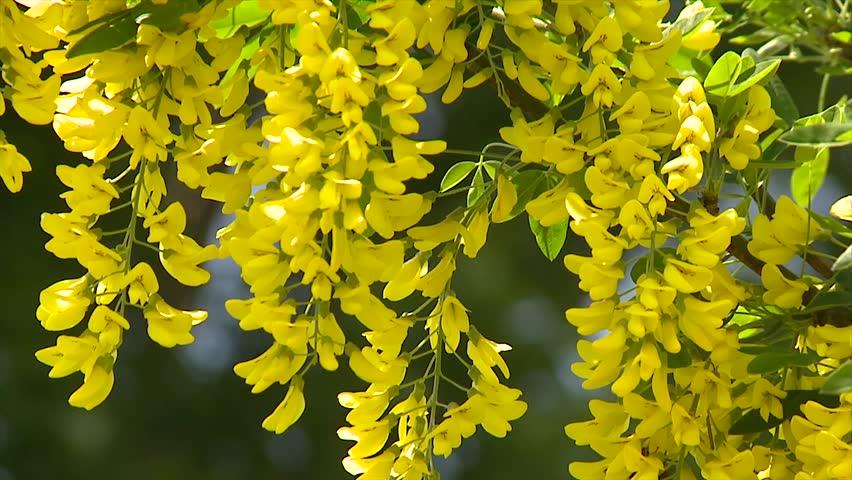 acacia yellow