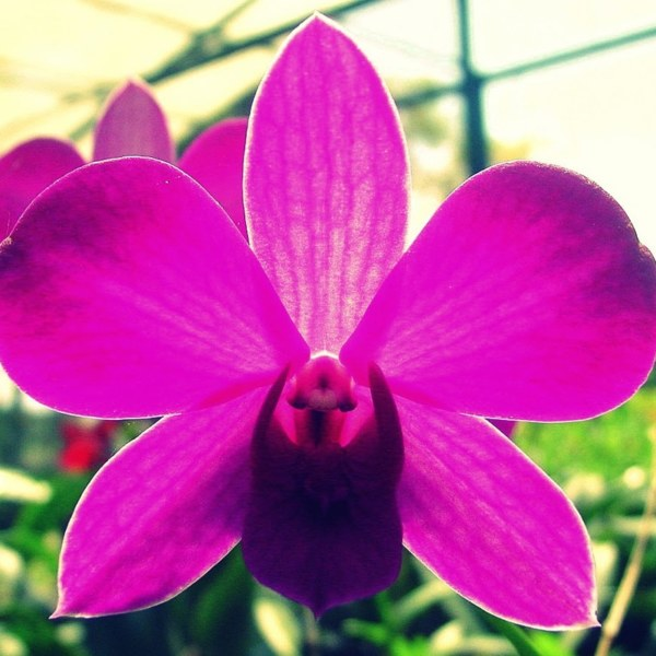 Guaria Morada: National Flower of Costa Rica