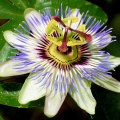 National Flower of Paraguay