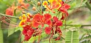 National Flower of Madagascar