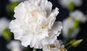 National Flower of Sicily