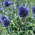 National Flower of Scotland