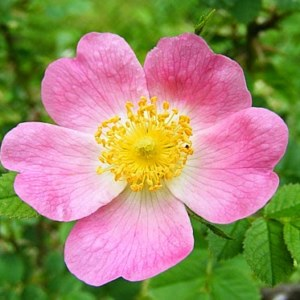 Dog Rose: National Flower of Romania