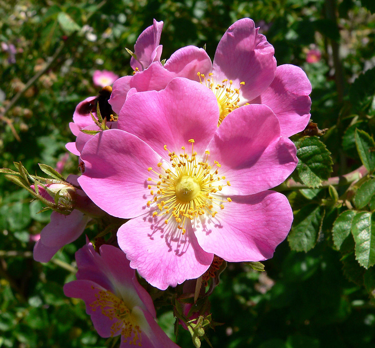 Dog Rose National flower of Romania