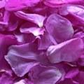 Dog rose Petals