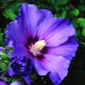 Hibiscus: National Flower of South Korea