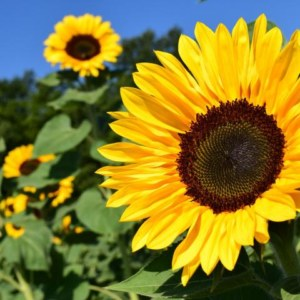Sun Flower: National Flower of Ukraine
