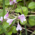 twinflower petals