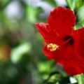National flower of tonga