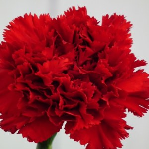Carnation: National Flower of Spain
