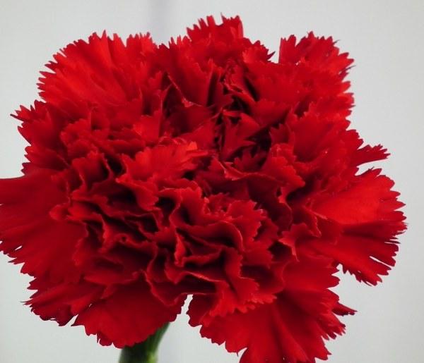 Carnation: National Flower of Spain