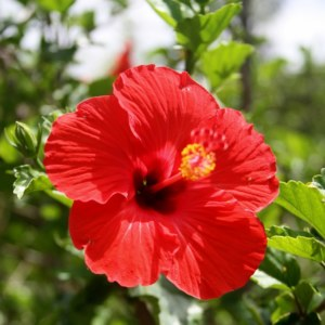 Heilala: National Flower of Tonga