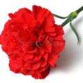 National Flower of Spain
