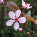 Plum Blossom: National Flower of Taiwan