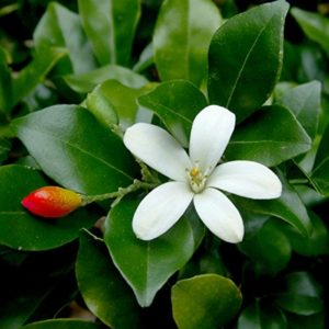 Jasmine: National Flower of Syria