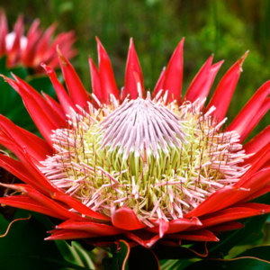 Protea Cynaroides: National Flower of South Africa