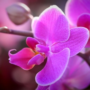 Orchid Flower: National Flower of Venezuela