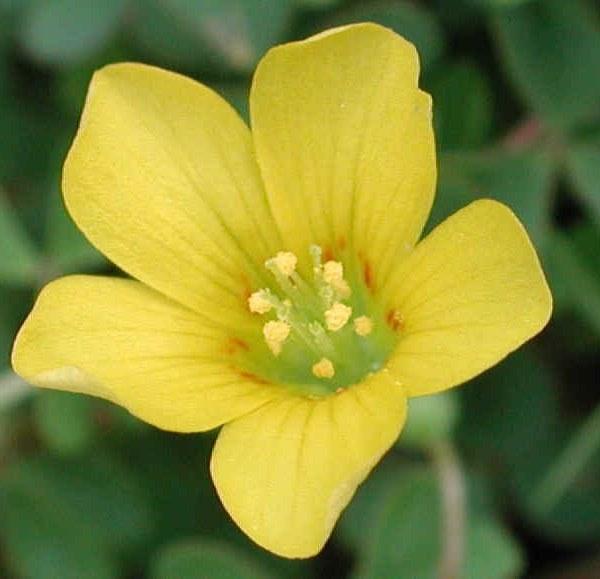 Yellow Cedar: National Flower of Virgin Islands