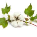 cotton flower petals