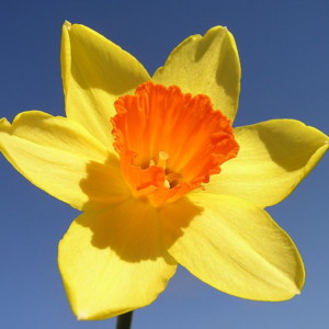 Daffodil Flower: National Flower of Wales