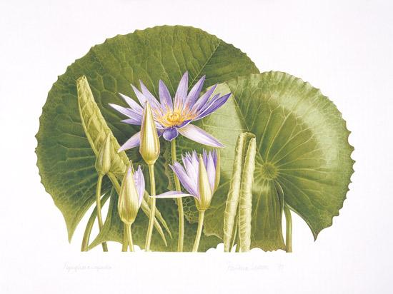 nymphaea nouchali flower art